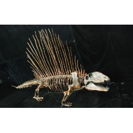Dimetrodon limbatus Skeleton Mounted Skeleton Replica - dinosaursrocksuperstore