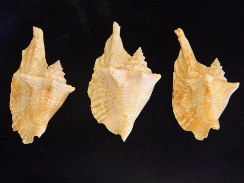 Strombus Gallus Rooster-Tail Conch Seashell - dinosaursrocksuperstore