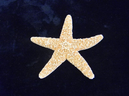 Sugar Starfish (Sea Star) Specimens - 5 Pack - dinosaursrocksuperstore
