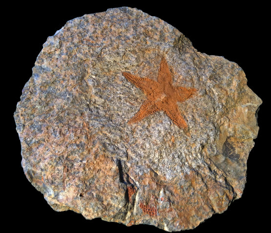 Fossil Sea Star - almost 400 Million Years Old! - dinosaursrocksuperstore