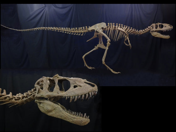 Adult Teratophoneus Skeleton