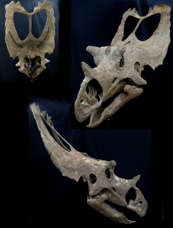 Utahceratops Skull Replica with base - dinosaursrocksuperstore