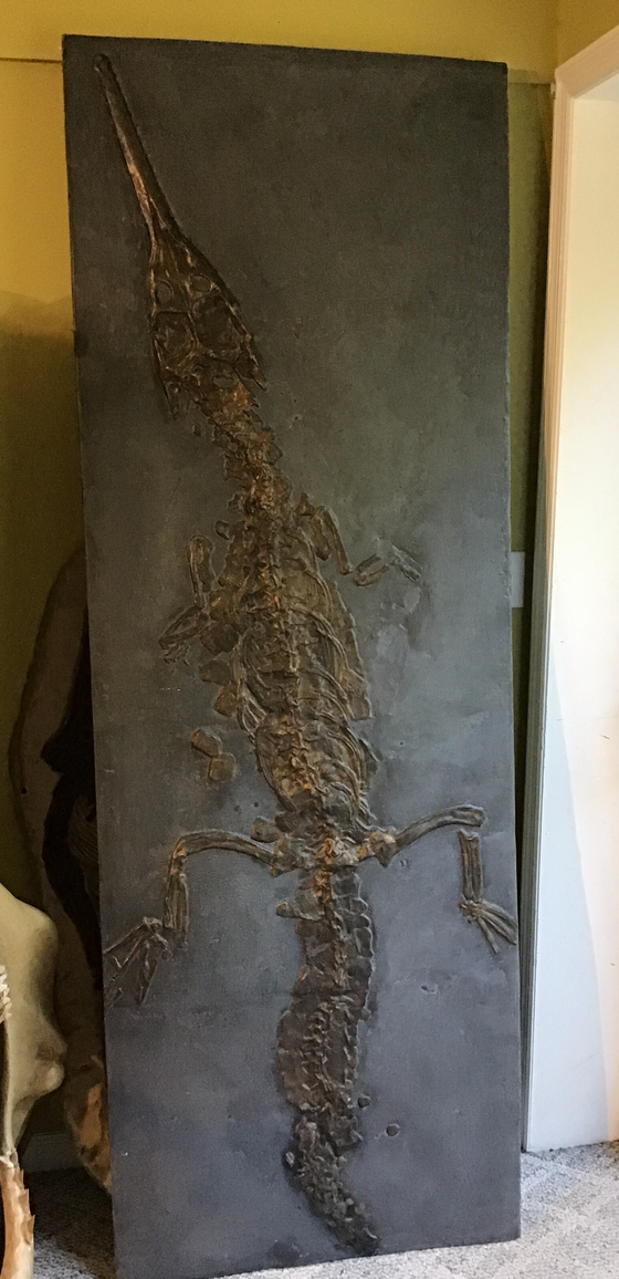Crocodile Full Skeleton Fossil Replica - On Slab from the Jurassic - 7 ft x 29""