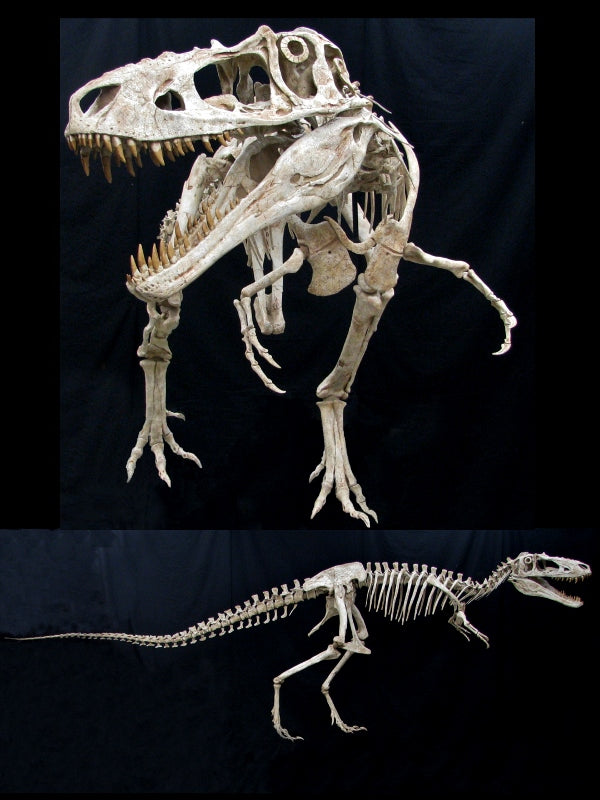 Alioramus Skeleton Reconstruction - dinosaursrocksuperstore