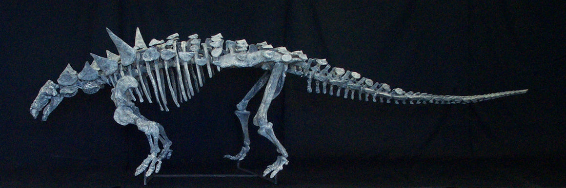 Animantarx Nodosaur Skeleton Replica - dinosaursrocksuperstore