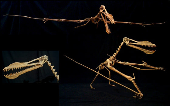 Anhanguerra Skeleton Walking Mount Replica - dinosaursrocksuperstore
