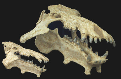 Giant Archaeotherium Skull Replica - dinosaursrocksuperstore