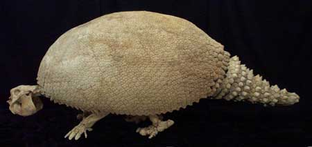 Glyptodont clavipes Skeleton Replica - dinosaursrocksuperstore
