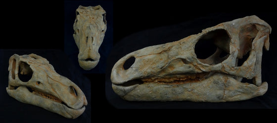 Hippodraco Skull Reconstruction Replica - dinosaursrocksuperstore