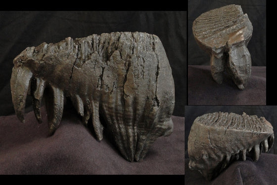 Mammoth Tooth Large Replica no Base - dinosaursrocksuperstore