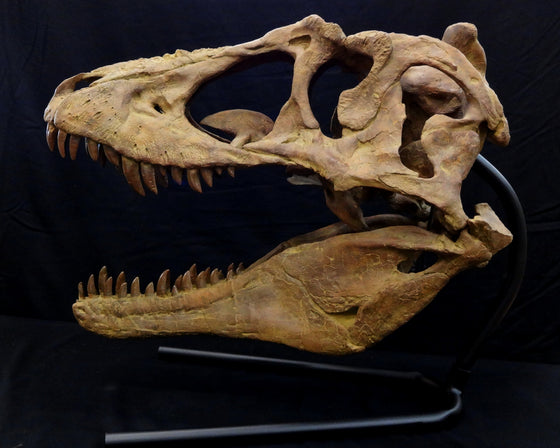 Lythronax Tyrannosaur Skull Replica with base - dinosaursrocksuperstore