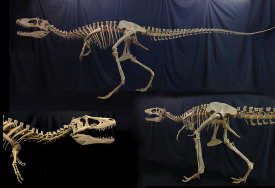 New Lythronax Argestes Skeleton Replica - dinosaursrocksuperstore