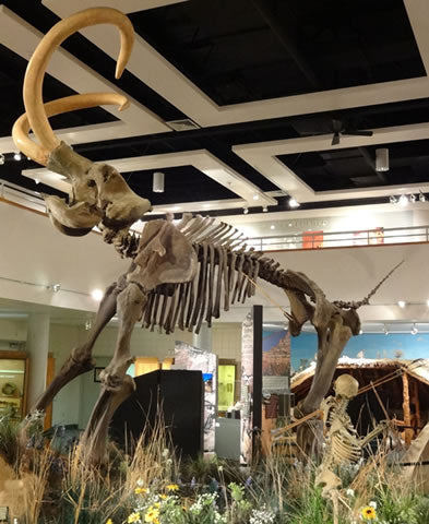 Columbian Mammoth Skeleton Replica - dinosaursrocksuperstore