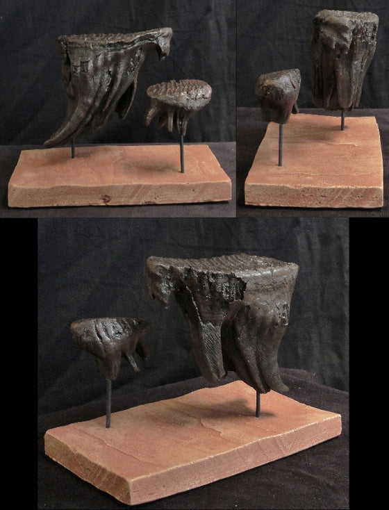 Mammoth Tooth Replica Set of 2 - dinosaursrocksuperstore