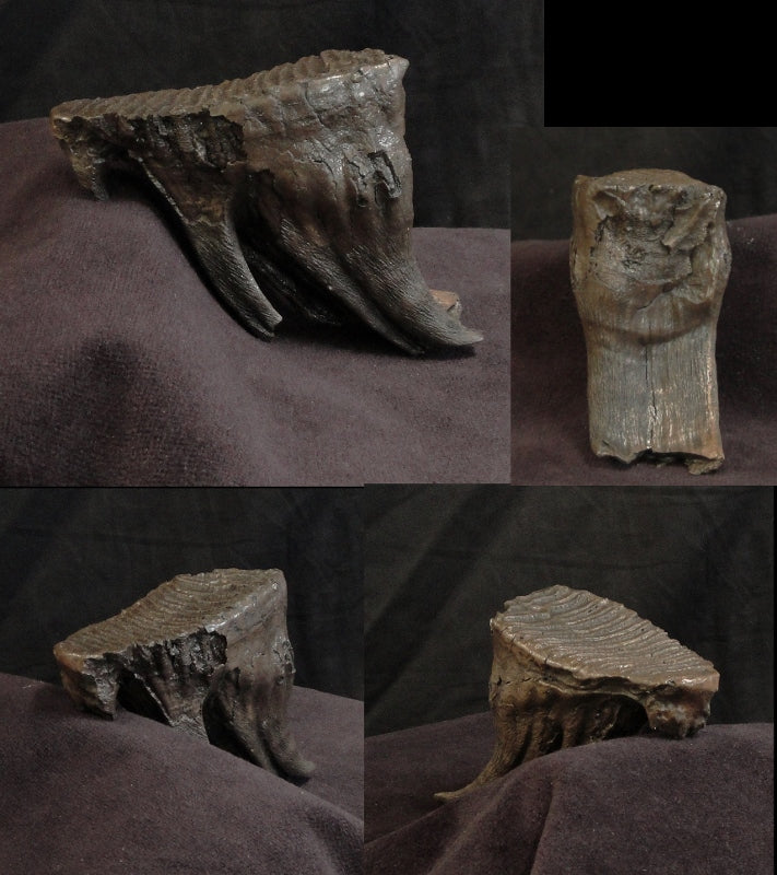Mammoth Tooth Medium Replica no Base - dinosaursrocksuperstore