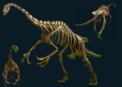 Therizinosaur Skeleton Nothronychus Replica - dinosaursrocksuperstore