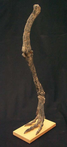 Othnielia Leg Replica with base - dinosaursrocksuperstore