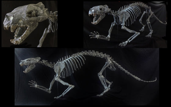 Patriofelis Skeleton Replica - dinosaursrocksuperstore