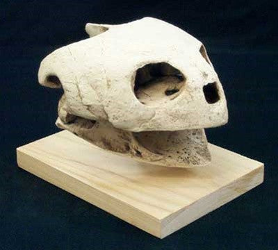 Giant Sea Turtle Skull Fossil Replica - dinosaursrocksuperstore