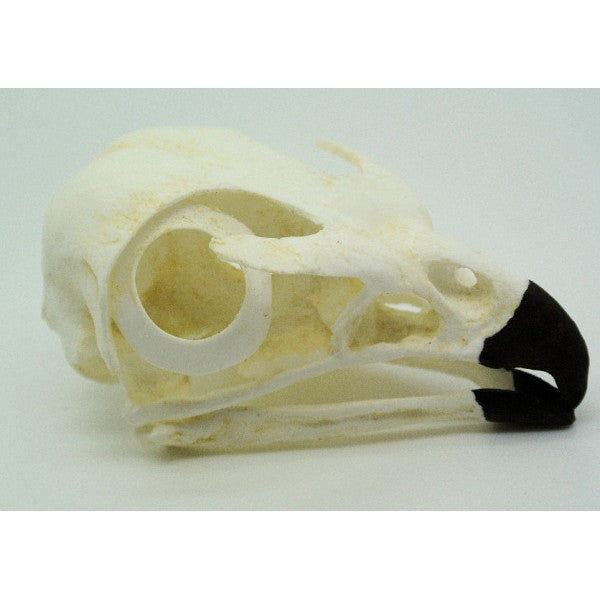 Red-tailed Hawk Skull - dinosaursrocksuperstore