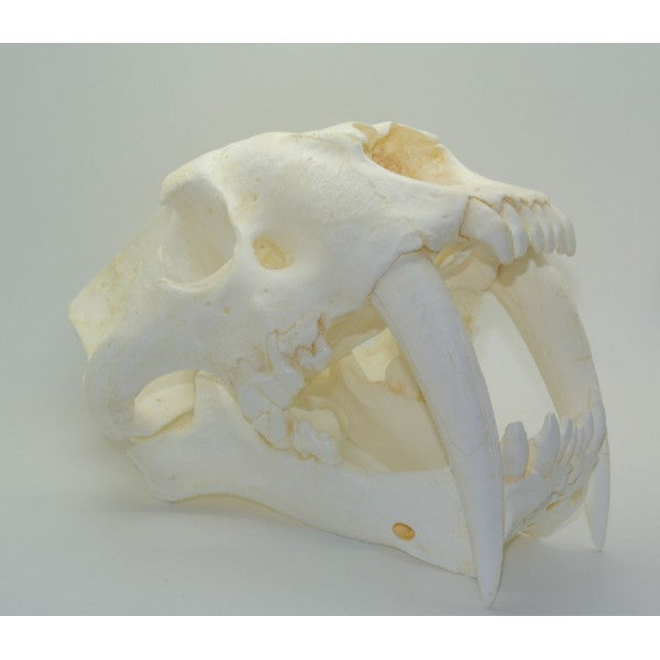 Sabertooth Cat Smilodon Skull Tarpit Finish - dinosaursrocksuperstore