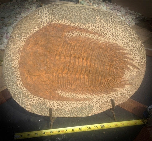Giant Genuine Fossil Paradoxides Trilobite - over 1 1/2' - dinosaursrocksuperstore