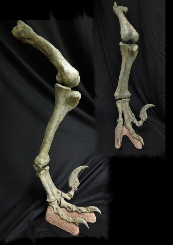 Utahraptor Leg Replica with armature - dinosaursrocksuperstore