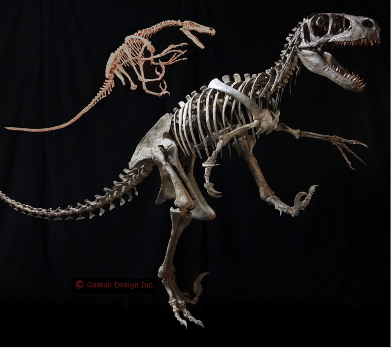 New Utahraptor Skeleton Replica - dinosaursrocksuperstore
