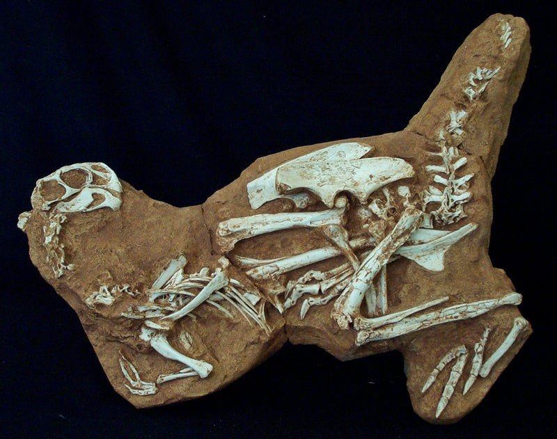 Conchoraptor Juvenile Skeleton Replica in 2-D Matrix Block - dinosaursrocksuperstore