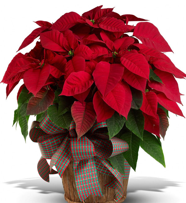 2-pots-of-red-poinsettia
