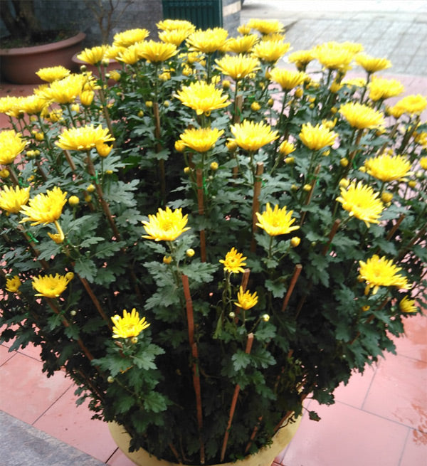 2-pots-of-yellow-chrysanthemum