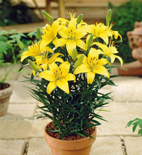 a-pot-of-yellow-lilies