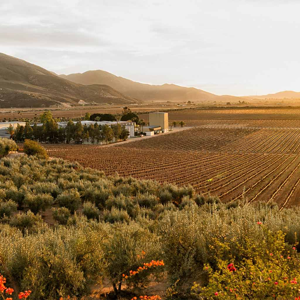 Golden hour at the vineyards of Valle de Guadalupe in Mexico