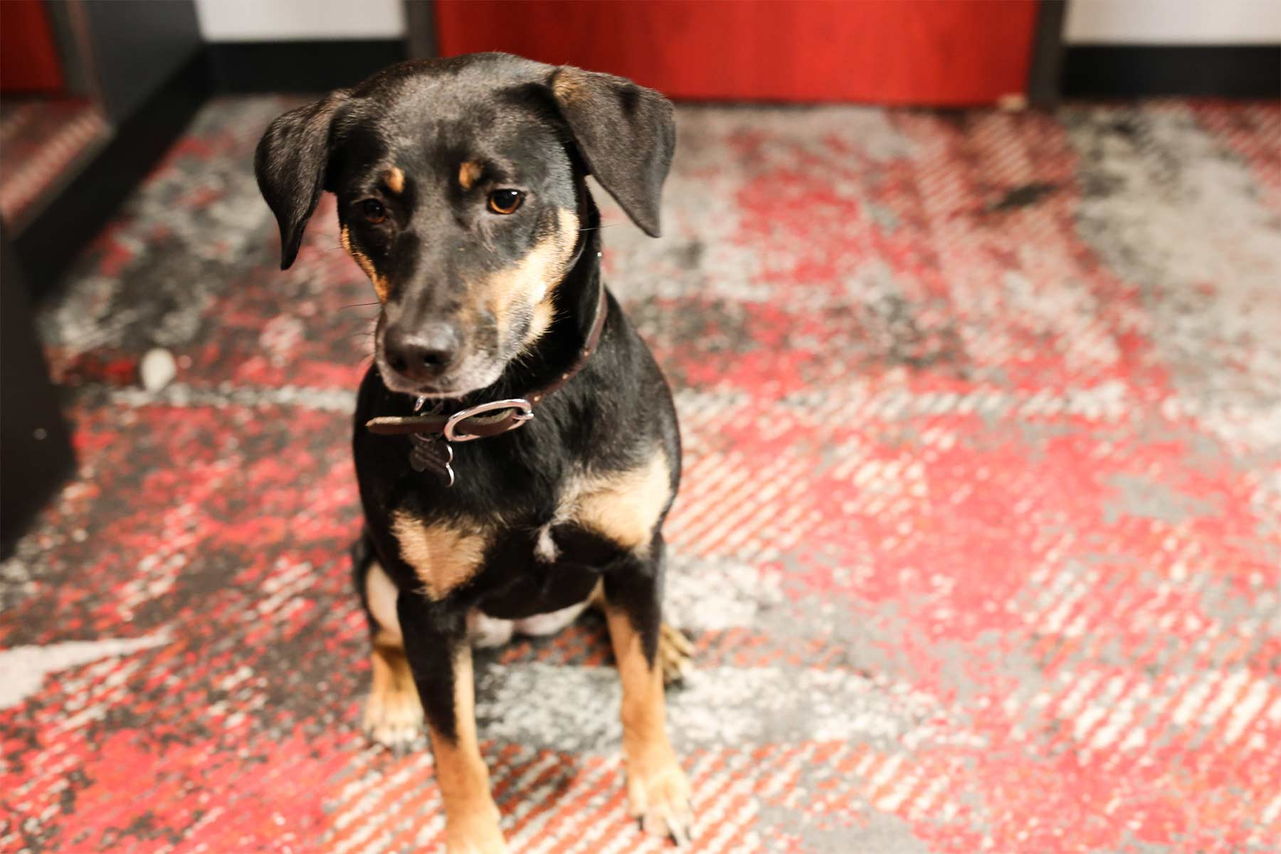 Sacha Rescue Dog at Bobby Hotel in Nashville, Tennessee