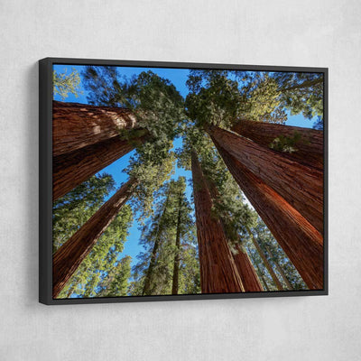 Giant Sequoia Trees - Amazing Canvas Prints