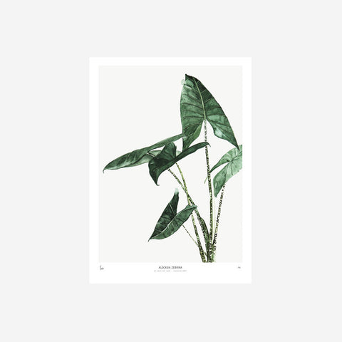 SIMPLE FORM.-My Deer Alocasia Watercolour Print Print