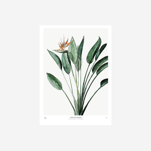 SIMPLE FORM.-My Deer Strelitzia Watercolour Print Prints