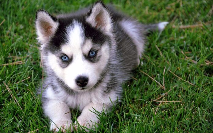 Cute Pomsky Dog Breed! Facts You Should Know about Pomsky