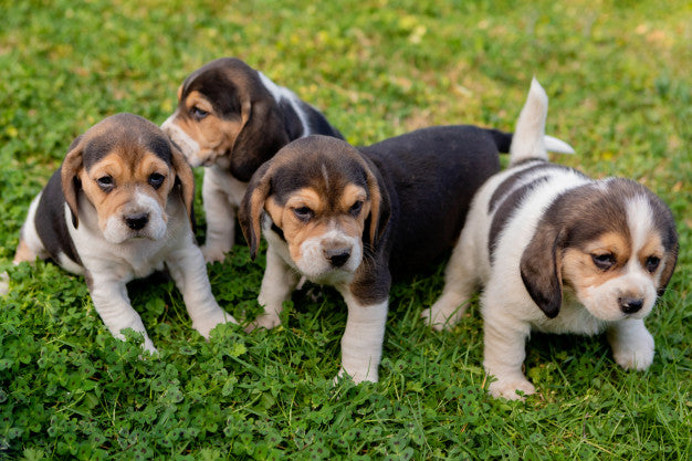 15 Most Attractive Beagle Puppies That Will Steal Your Heart Away