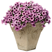 Proven Winners® 2018 Annual of the Year Petunia Supertunia® Bordeaux™