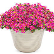 Calibrachoa Superbells® Rising Star™