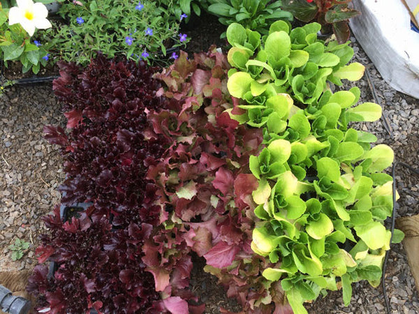 Lettuce Transplants from Seed