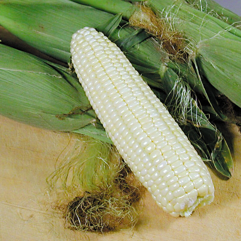 Sweet Corn Xtra-Tender 378A F1