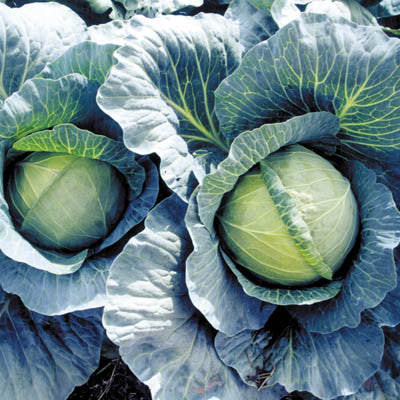 Cabbage Early Thunder F1