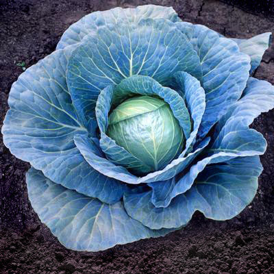Cabbage Blue Vantage F1