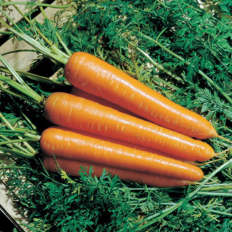 Carrot Nantindo F1 Seeds