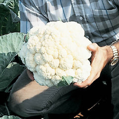 Cauliflower Imperial 10-6