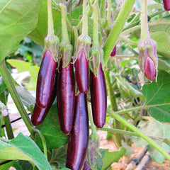 Eggplant Little Fingers Organic