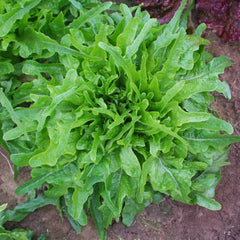 Lettuce Royal Oakleaf