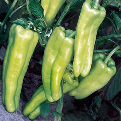 Specialty Sweet Peppers